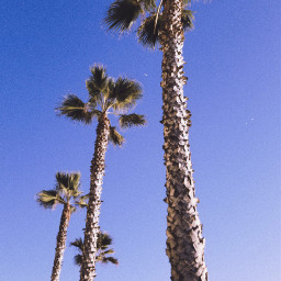 freetoedit pcpalmtrees palmtrees photography myphoto