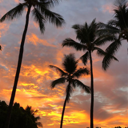 freetoedit pcpalmtrees palmtrees nature myphotography pcgoldenhour