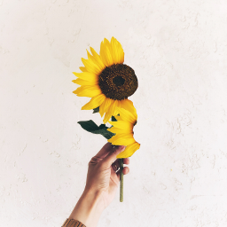 freetoedit petalas girasol🌻 yellow ircsunflower