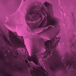 rose delicate beautiful