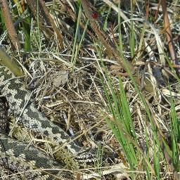 adder viper snake naturephotography nature