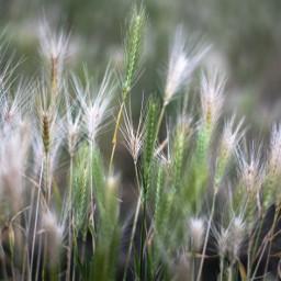 freetoedit nature wheat macro summer