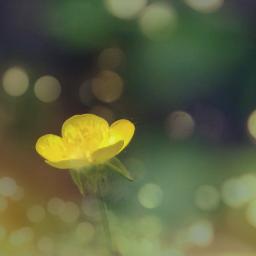 freetoedit flower buttercup aestethic bokeheffect