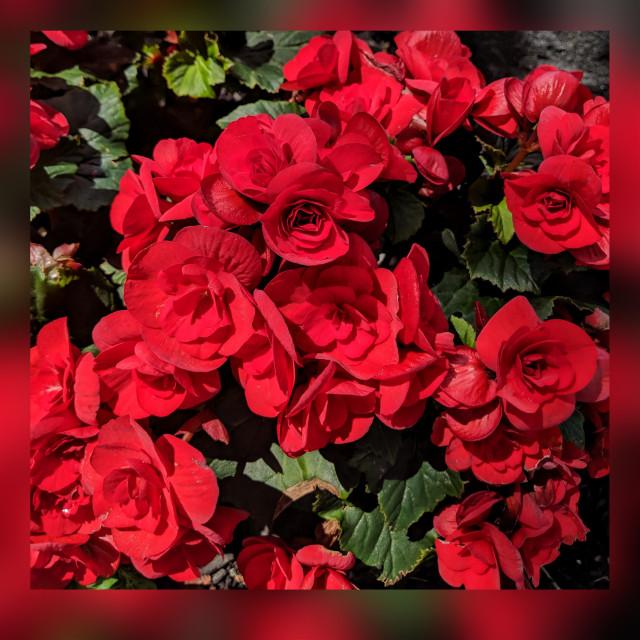 #freetoedit #flowers #red #squarefit