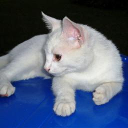 freetoedit cat gato chairs feline pcblueandwhite