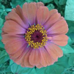 freetoedit flower zinnia colorfulflower naturephotography pccolorfulsummer
