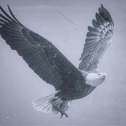 freetoedit eagle feathers flight wings