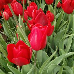 freetoedit tulips red naturephotography myphotography