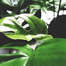 freetoedit plant cute green leaf pcleaves