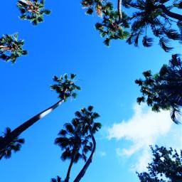 freetoedit palmtree california pcshadesofblue