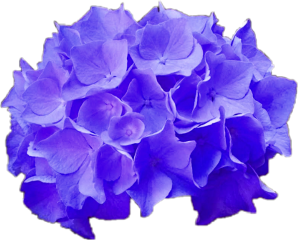 freetoedit flower hydrangea purple