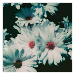 background backgrounds daisy daisies white freetoedit