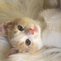kitten cat 10weeks adorable animal