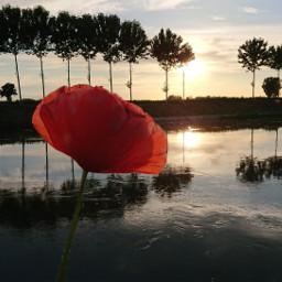 sunset poppy