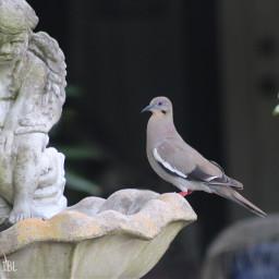 freetoedit remix whitewingdove birds onmystreet