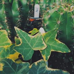 cactus cacti plants