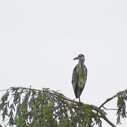 minimalism watercoloreffect bird herron nature freetoedit