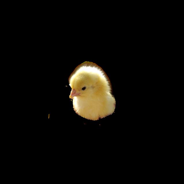 #курочка #цыпленок #живойцыпленок#цыплёнок #IifeChicken #chicken #курица