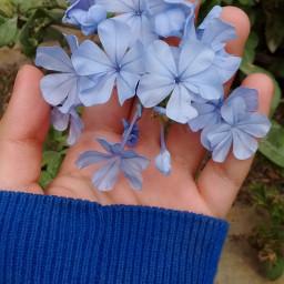 blue blueaesthetic blueflower bluetheme pcshadesofblue