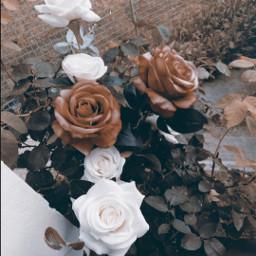 roses rosesarered violetsareblue poem garden freetoedit