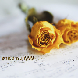 freetoedit yellow rose photography musicnotes