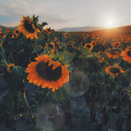 freetoedit beautiful nature sunset sunflowerfields