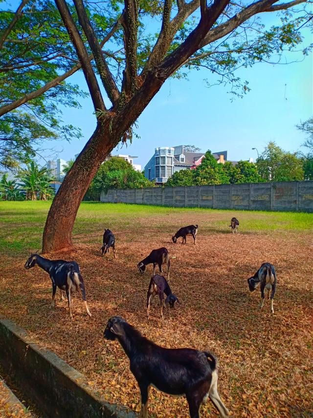 #freetoedit #myclick📷 😁😁 #morningwalk #landscape #goat 🐏🐏