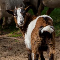 freetoedit goat kid cute petsandanimals