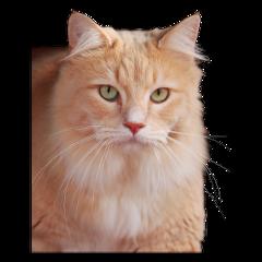 cat kittylove animal kitty orange freetoedit