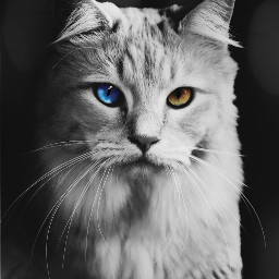 freetoedit blackandwhite yellowandblue cat animal irckittylove