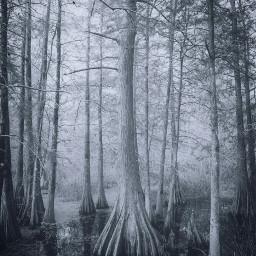 freetoedit swamp trees trunk bark