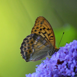 freetoedit photography naturephotography butterfly summertime