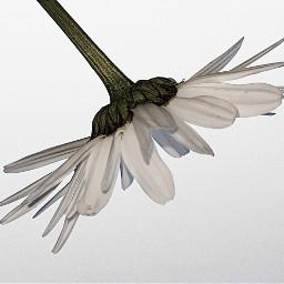 flower daisy petals photography upsidedown freetoedit