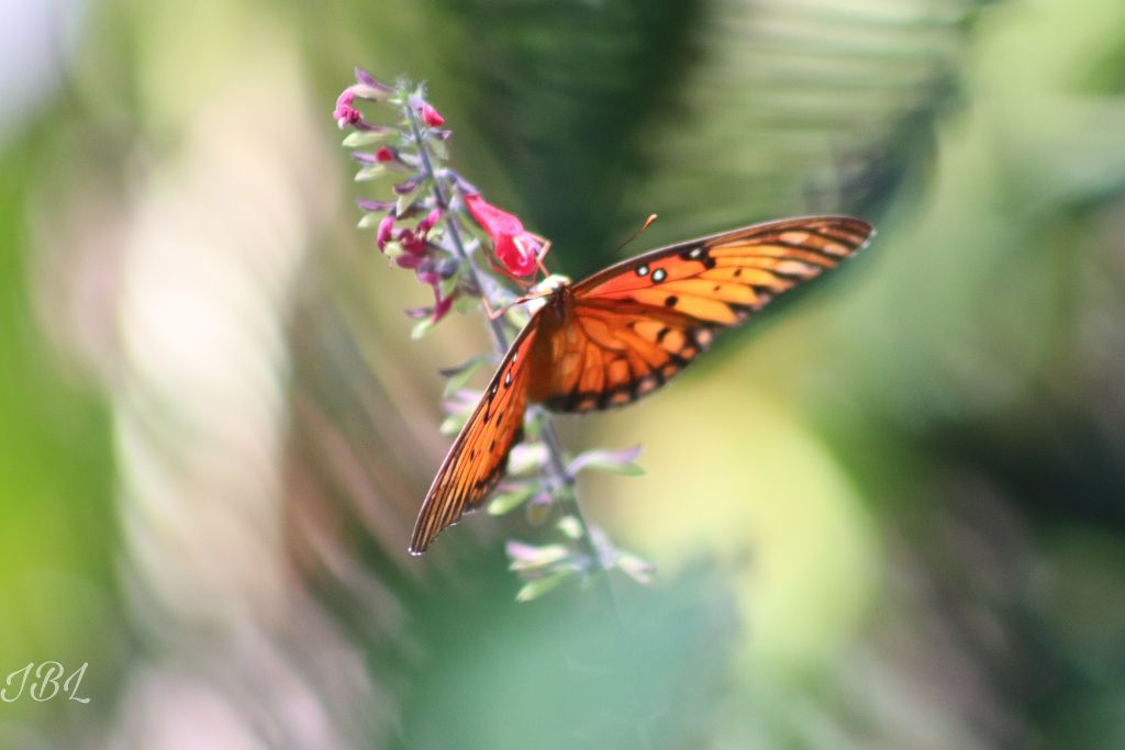#freetoedit #nofilter #flowers #bright #canonphotography #butterfly #butterflylove #vividcolor #beautyinnature #canonphotography #gulffritillarybutterfly #butterfly #butterflylove #bokehbackground