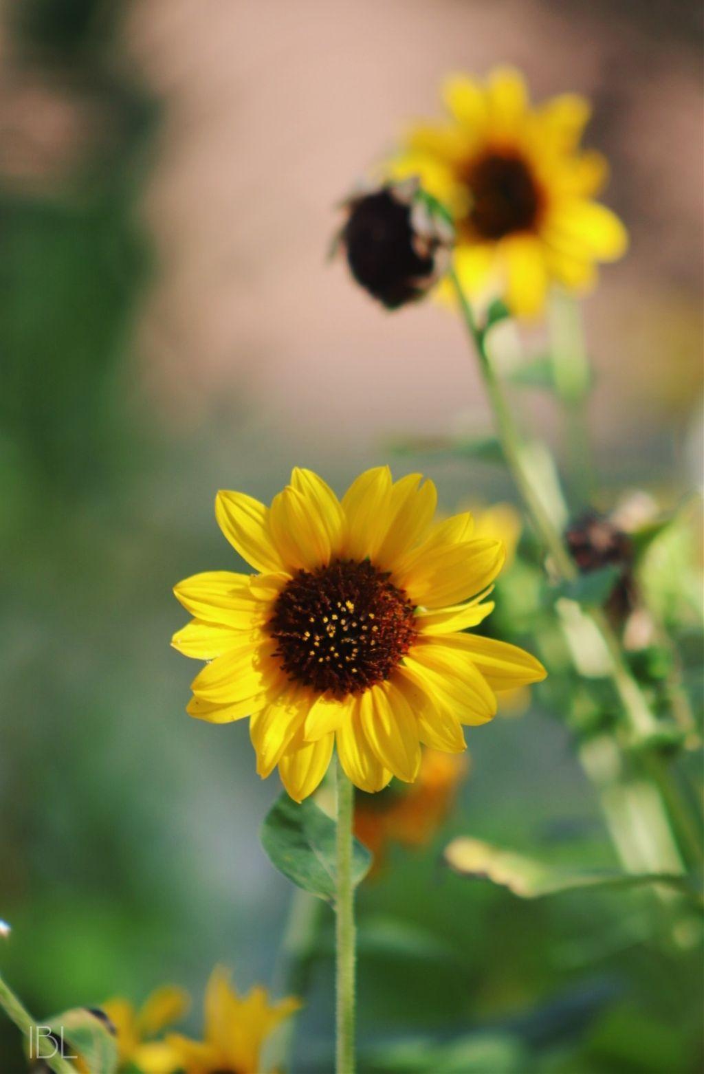 #freetoedit @zanytaz #colorful #nature #photography #flowers #inmyneighborhood #bright #sunflowers #plants #naturallight #canonphotography