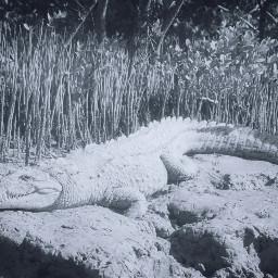 freetoedit crocodile croc reptile wildlife