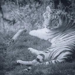 freetoedit tiger animal animals tigre