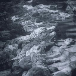 freetoedit crocodile croc crocodiles crocs