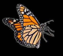 butterfly orange aesthetic big fly freetoedit