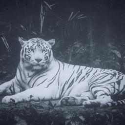 freetoedit tiger white animal animals