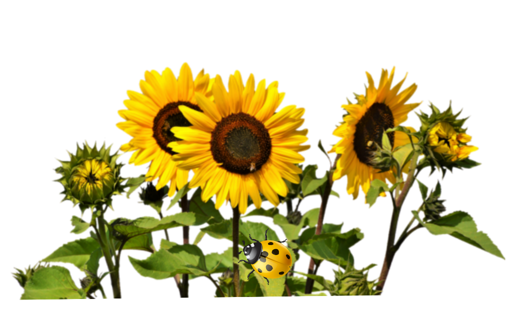 #flower #colorful #nature #yellow #sunflower