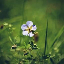 freetoedit flower wildflower singleflower nature