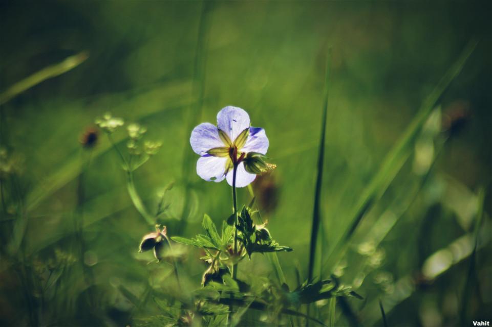 #freetoedit #flower#wildflower#singleflower#nature#focus#myphotography