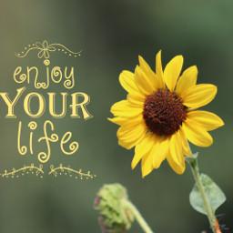 freetoedit sunflowers nature colorful photography