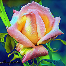 rose rosebud peachrose dewdrops magiceffect