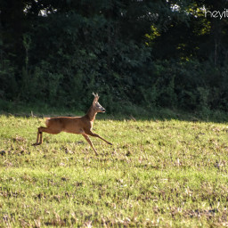deer wildlife nature summer august