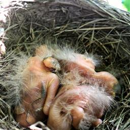 freetoedit birds babys nature