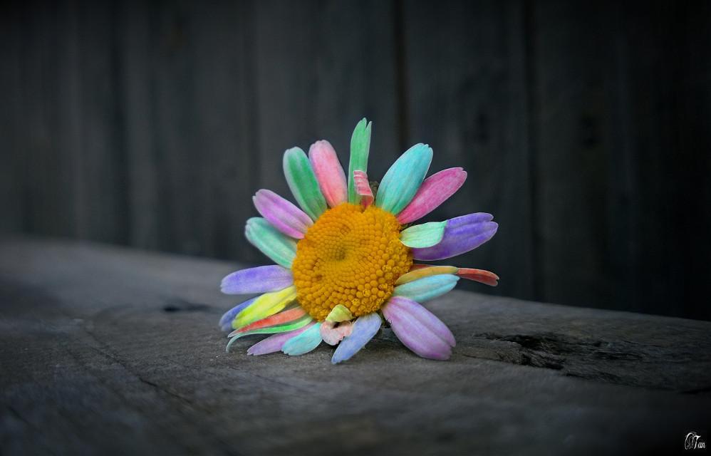#flower #camomile #colorchange #freetoedit
