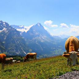 freetoedit switzerland mountians meadow cows
