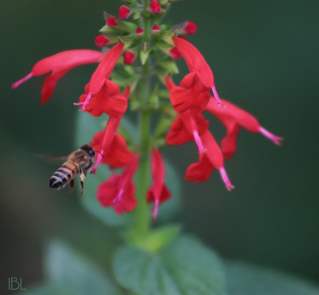 #freetoedit #nature #colorful #photography #flowers #inmyneighborhood #bright #bees #insects #canonphotography #honeybee #salvia
